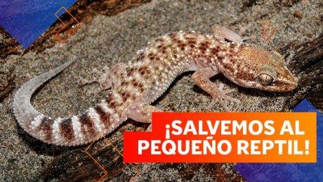 El gecko de Lima: ¡Nuestra lagartija endémica está en problemas!