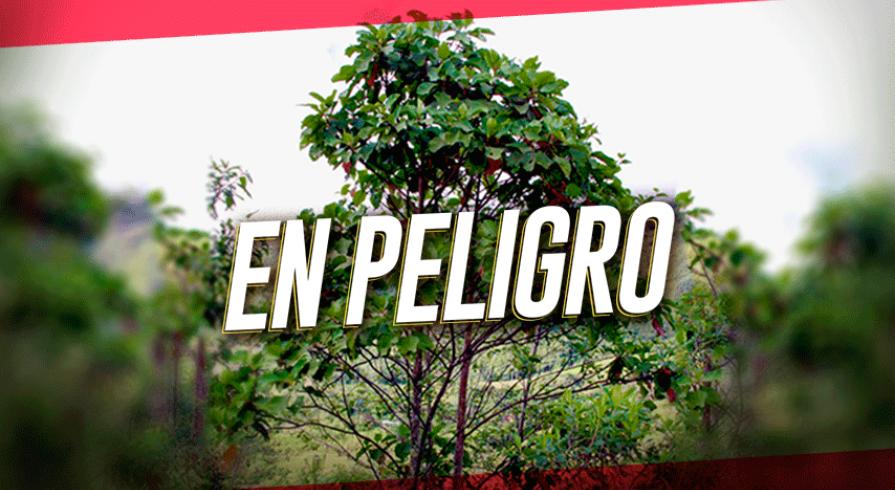 La Quina El árbol Que Pocos Conocen En El Perú Canalipetv