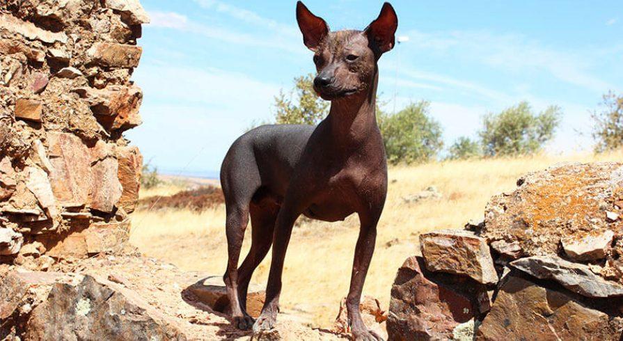 Resultado de imagen para perro peruano