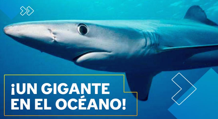 Conoce al tiburón azul, una especie amenazada