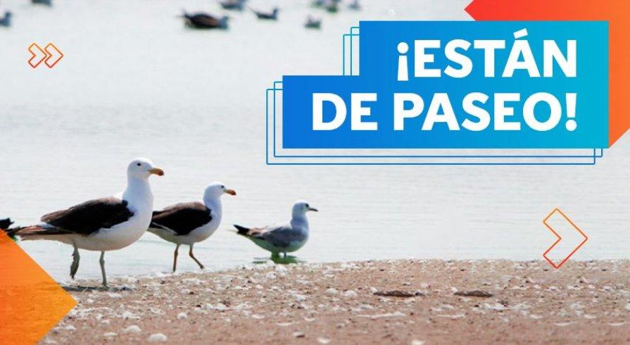 Gaviotas de Franklin: las visitantes favoritas de los pantanos y albúferas del Perú