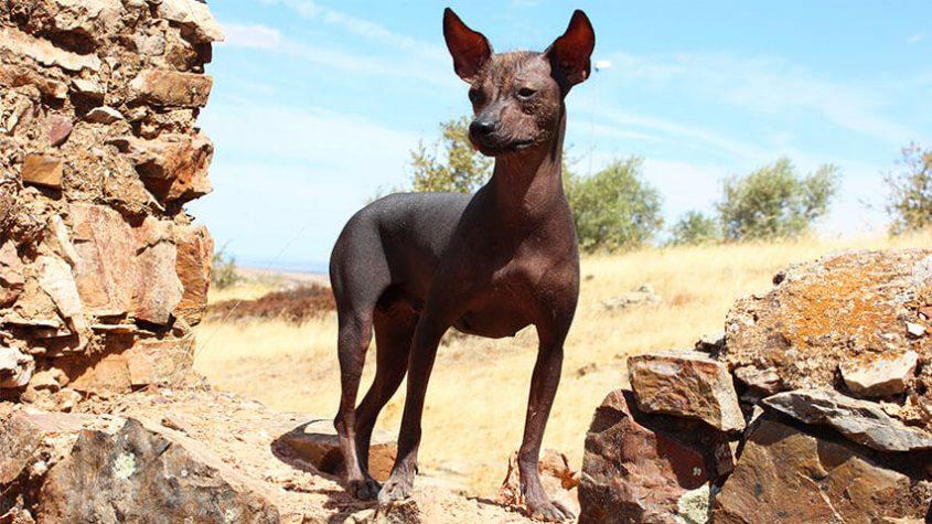 5 cosas que no sabías sobre el perro peruano